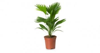 Winterharte Palmen im heimischen Garten