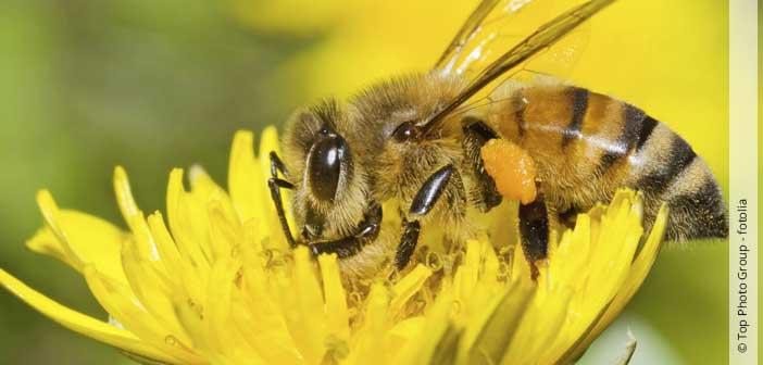 """Aktion """"Deutschland summt"""": Rettet die Wildbiene"""