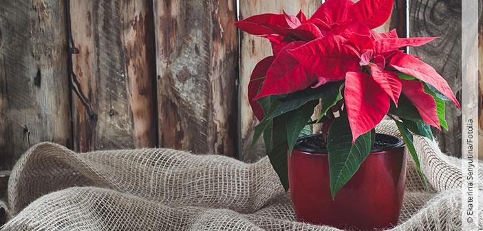 Weihnachtssterne richtig gießen