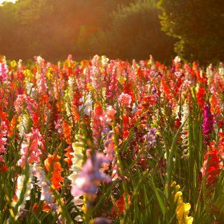 Gladiolen: Unser Tipp für einen farbenprächtigen Garten im Sommer
