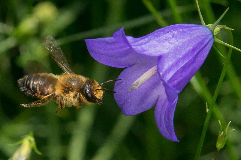 Blühende Gärten und Balkone als Paradies für Wildbienen